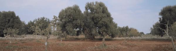 Pantaleo ulivi
